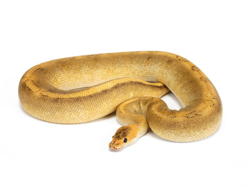 Champagne Morph List World Of Ball Pythons