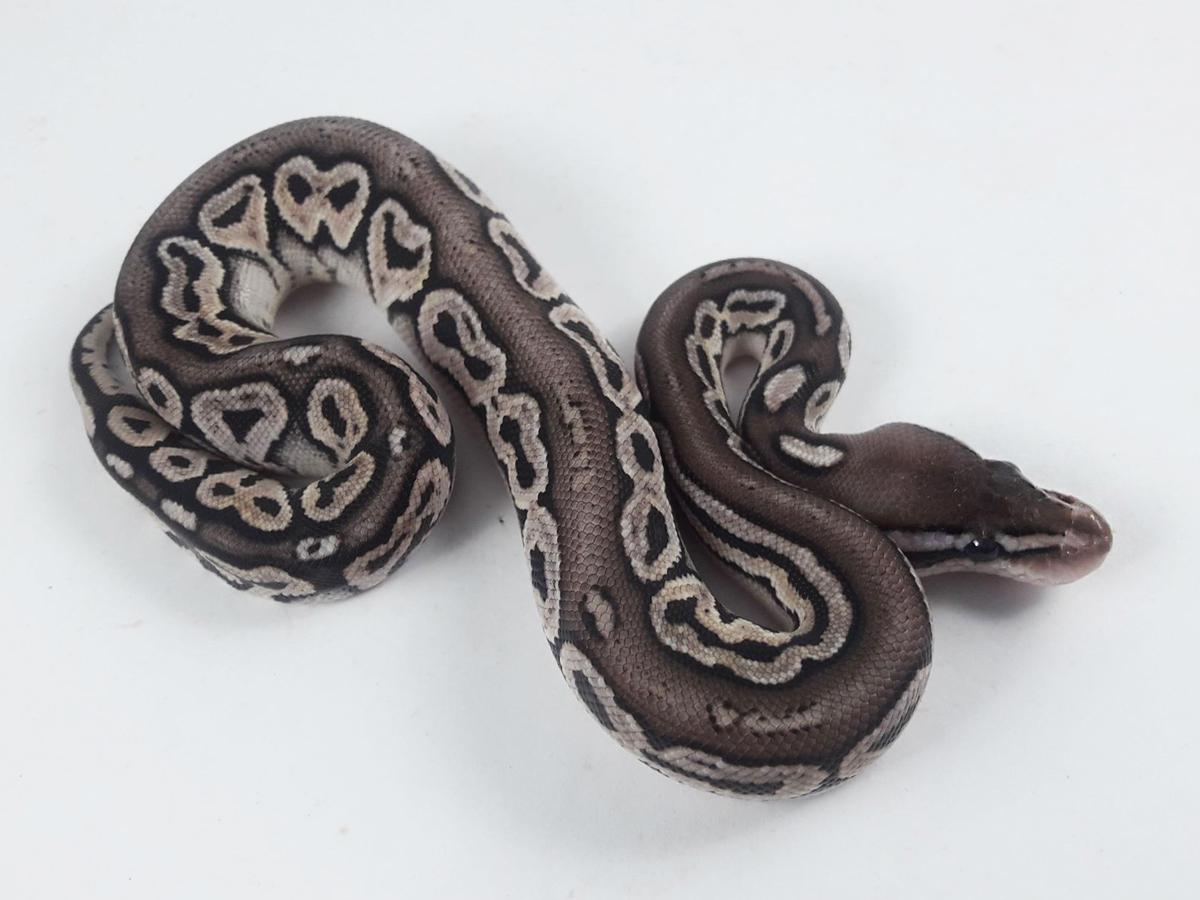 Chocolate Fire Lace Black Back Pastel