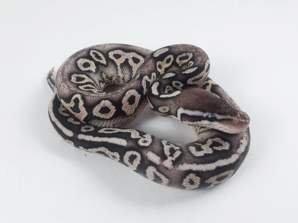 Chocolate Lace Black Back Pastel Yellow Belly