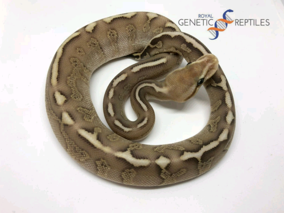Chocolate Lesser Woma