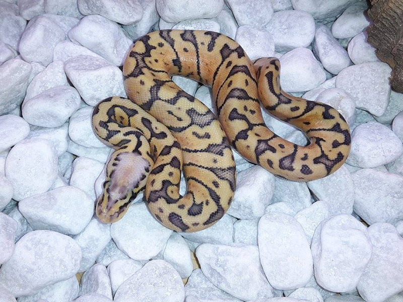 Chocolate Phantom Super Pastel Woma