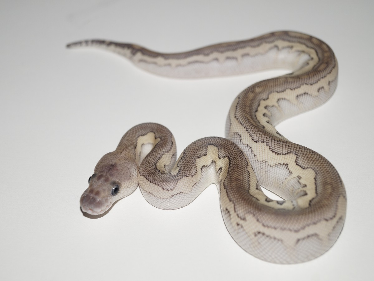 Cinnamon Clown Lesser Pastel