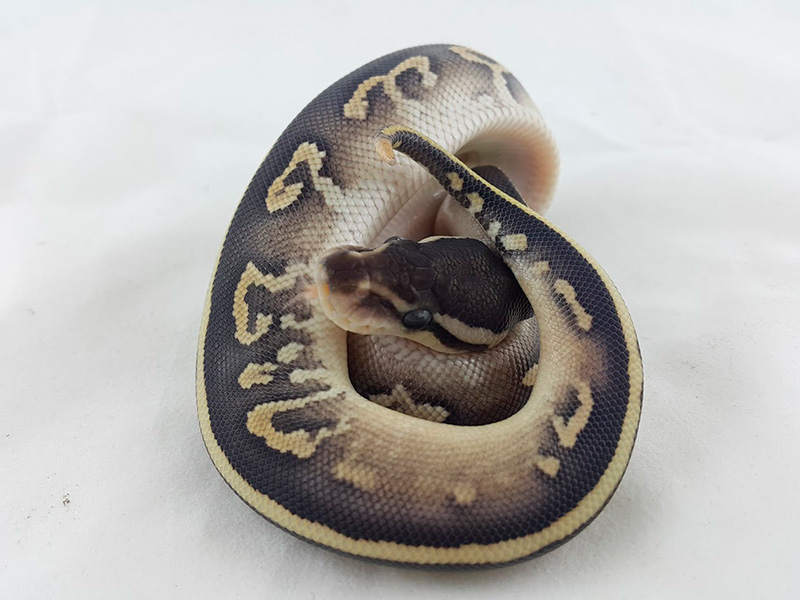Cinnamon Fire Mojave Yellow Belly