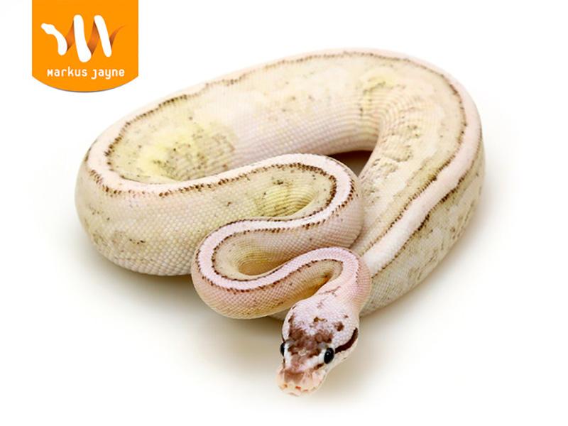 Cinnamon Fire Pastel Specter Yellow Belly