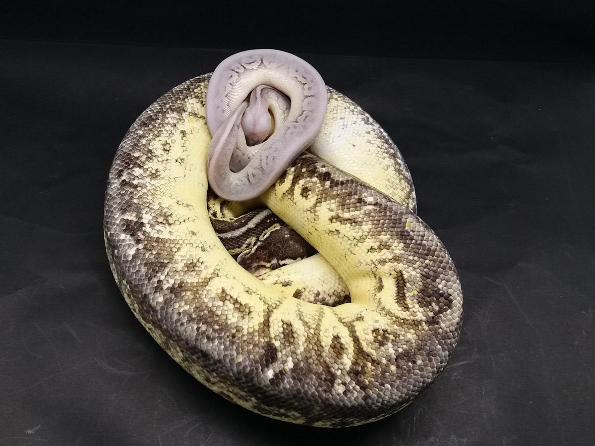 Cinnamon Fire Super Pastel Yellow Belly