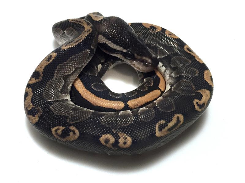 Cinnamon Ghi Morph List World Of Ball Pythons