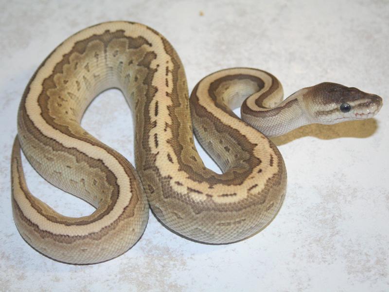 cinnamon lesser pinstripe morph list world of ball pythons