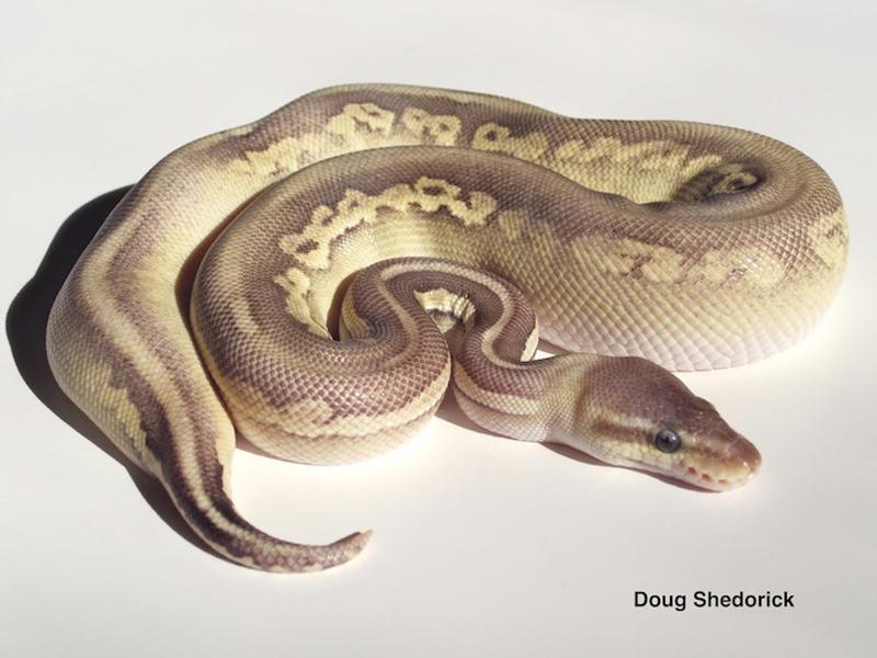 super spider ball python