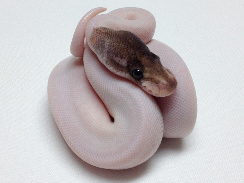 cinnamon pied morph list world of ball pythons