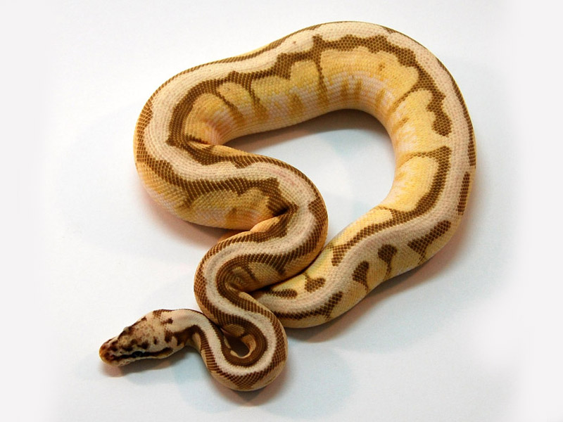 Queen Bee Ball Python Citrus Whiteout...