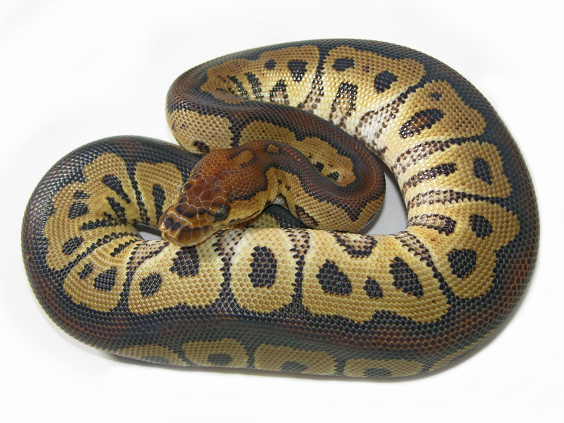 Clown Het Red Axanthic - Morph List - World of Ball Pythons