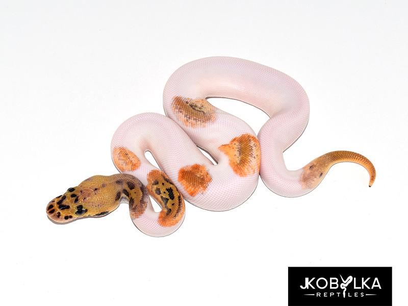 Clown Leopard Pastel Piebald