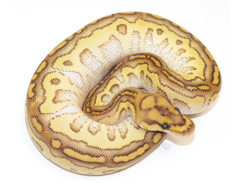 Clown Lesser Yellow Belly