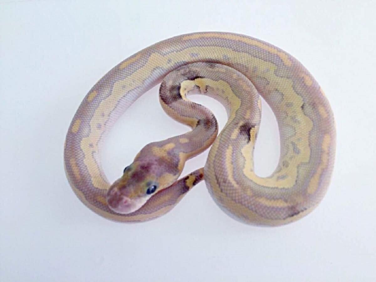 Clown Mojave Special