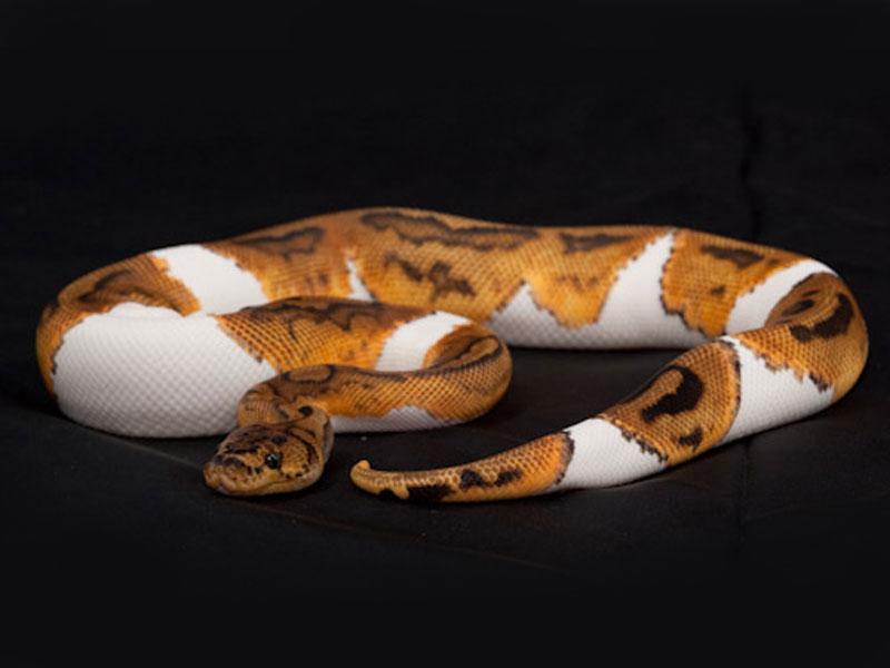 Pied clown ball python - photo#1