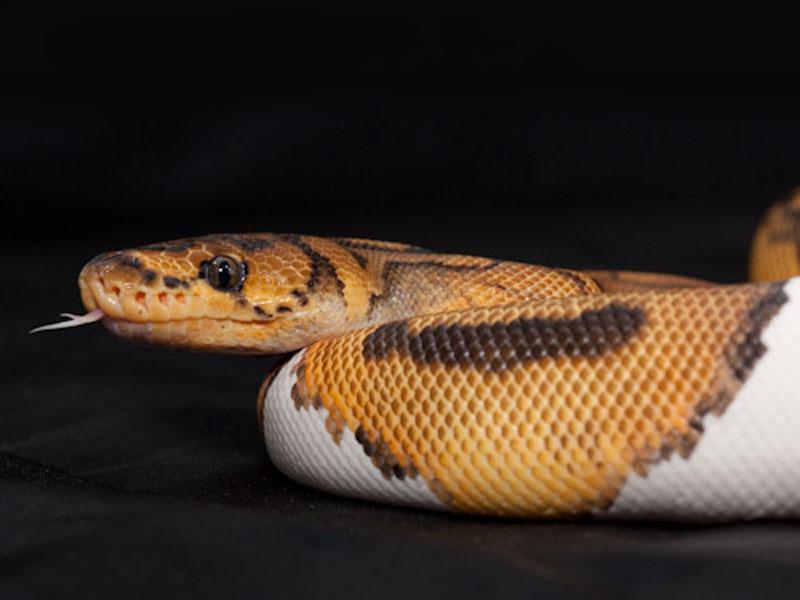 Pied clown ball python - photo#34