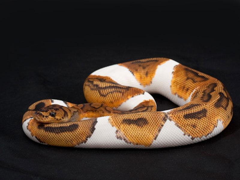Pied clown ball python - photo#2