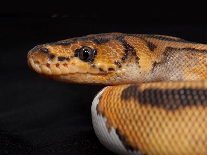 Pied clown ball python - photo#17
