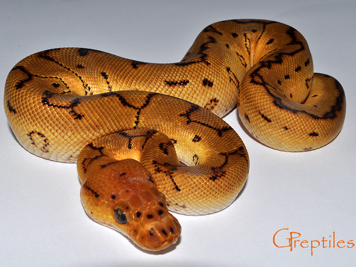 Clown Pinstripe Yellow Belly
