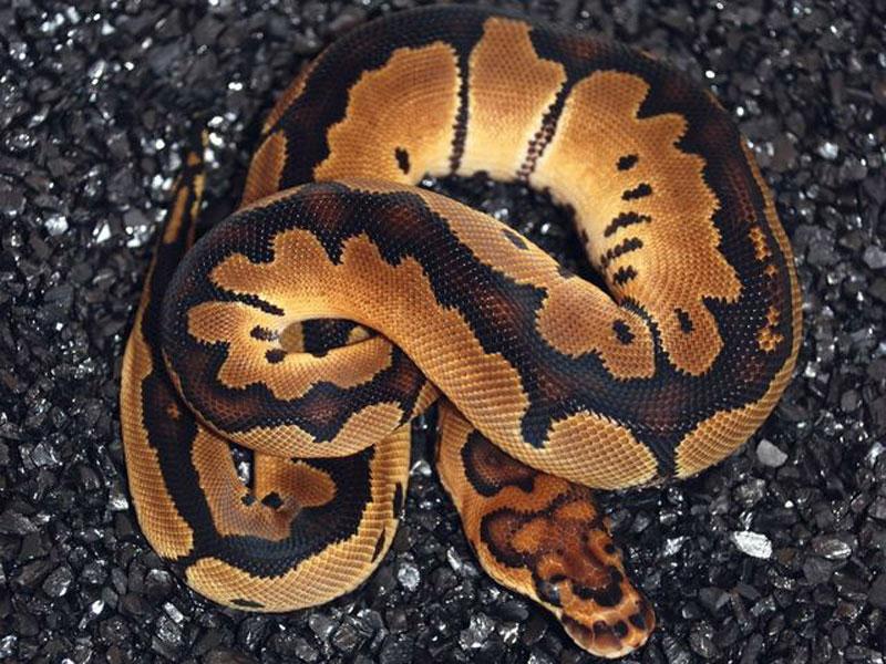 Pied clown ball python - photo#50