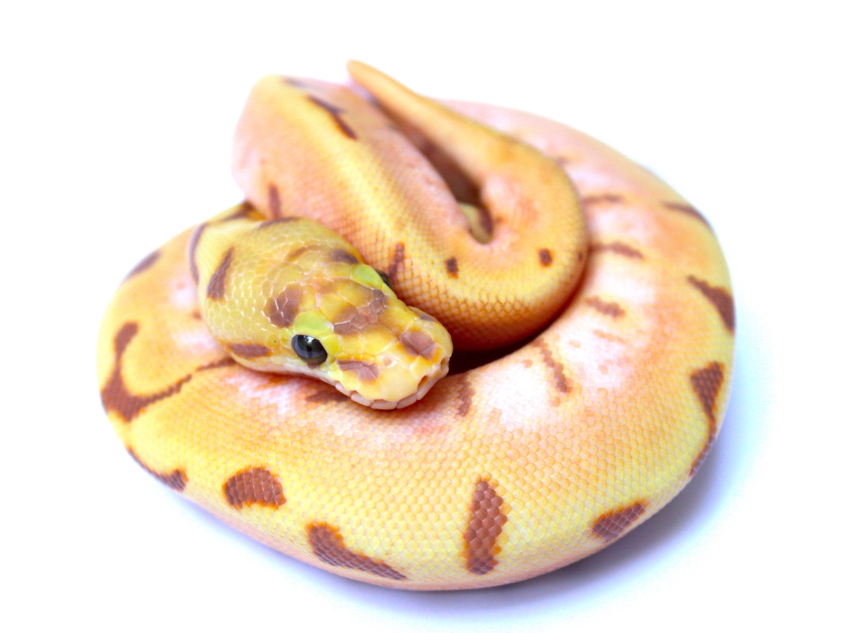 Coral Glow Enchi Orange Dream Spider