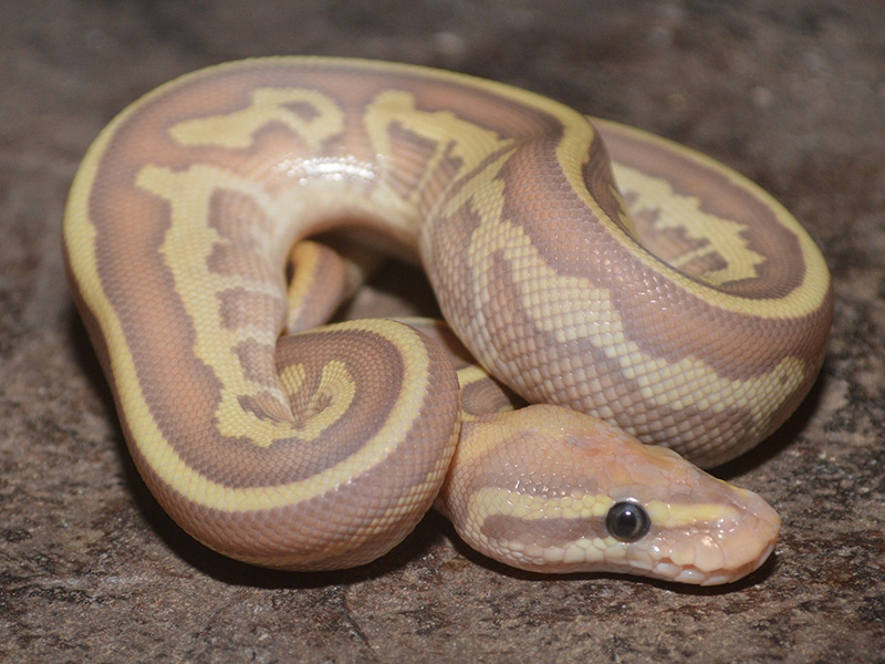 Coral Glow Ghost Leopard Lesser