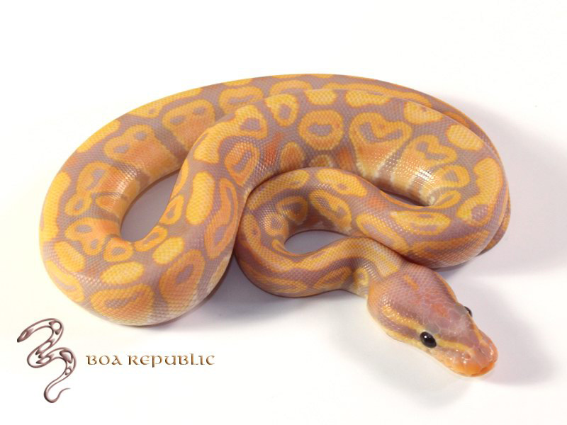 Image result for coral glow ball python