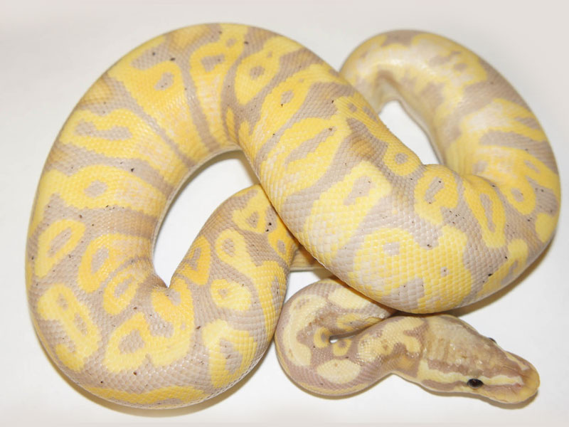 Coral Glow Super Lemon Pastel