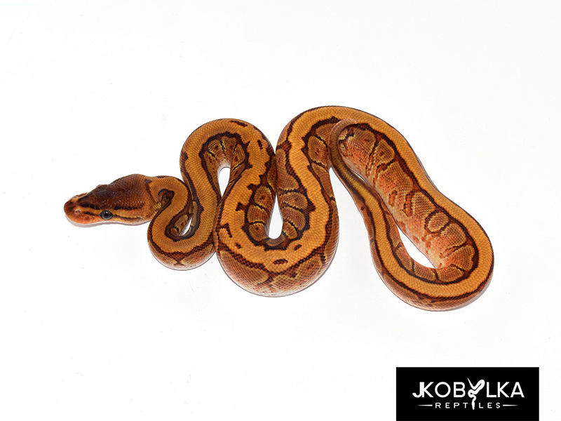 Cypress Enchi Pinstripe Yellow Belly
