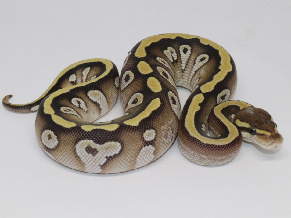 Cypress Mojave Morph List World Of Ball Pythons