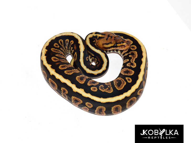 Cypress Spotnose Yellow Belly