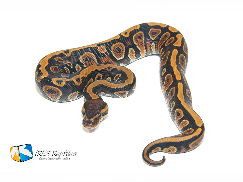 Cypress Yellow Belly