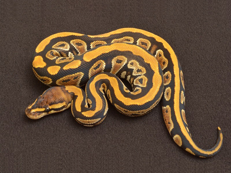 Cypress Morph List World Of Ball Pythons