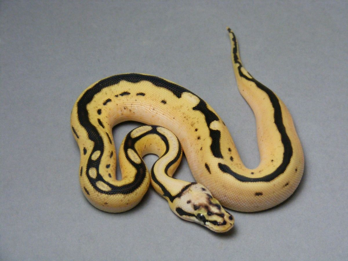 D-Stripe Enchi Spider Super Pastel