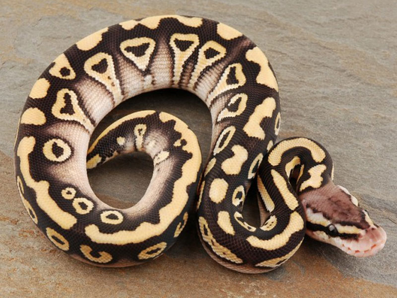 Pastel mystic ball python - photo#2