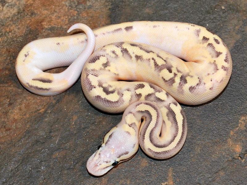 disco fire pastel morph list world of ball pythons