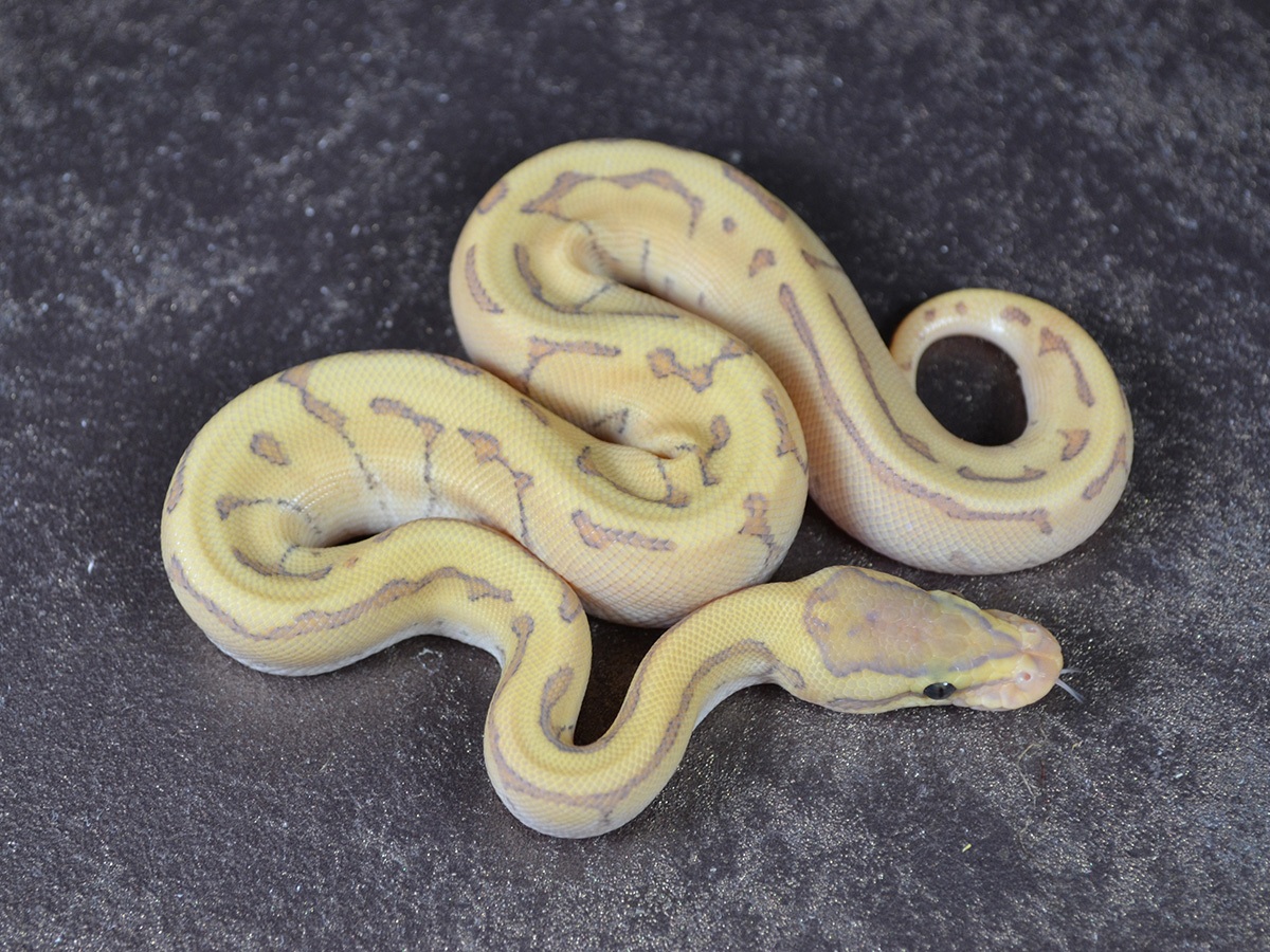 Enchi Fire Ghost Phantom Pinstripe