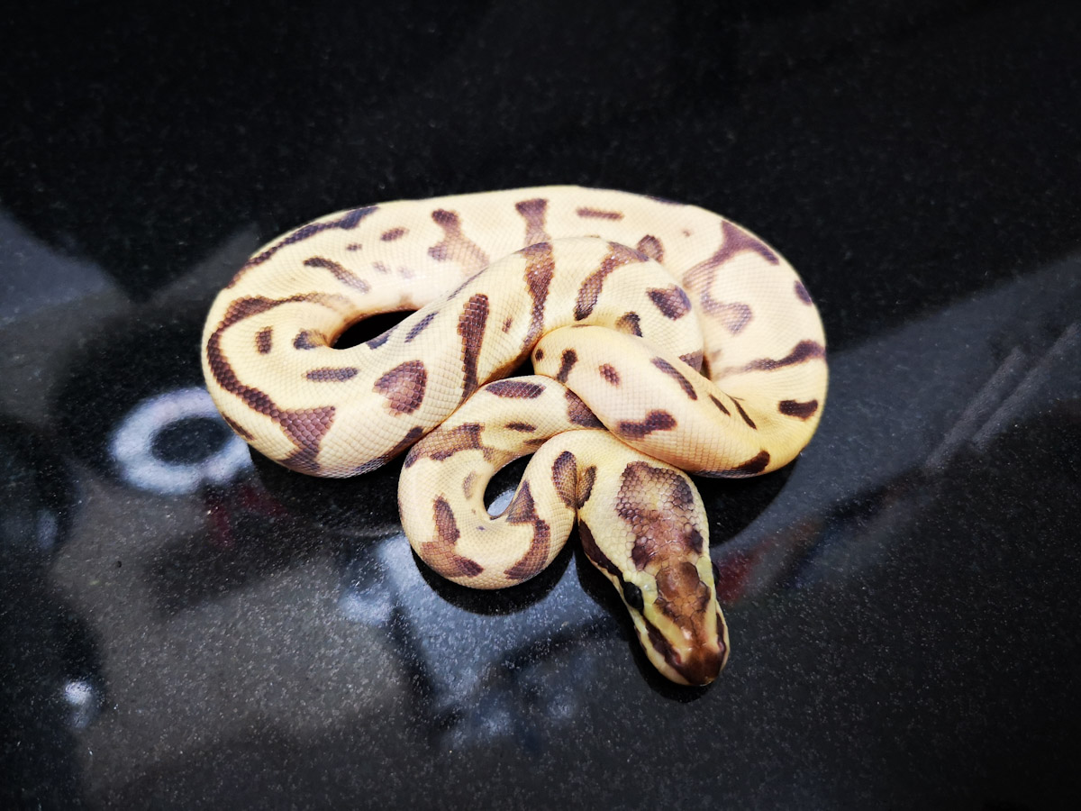Enchi Fire Leopard Mojave Woma