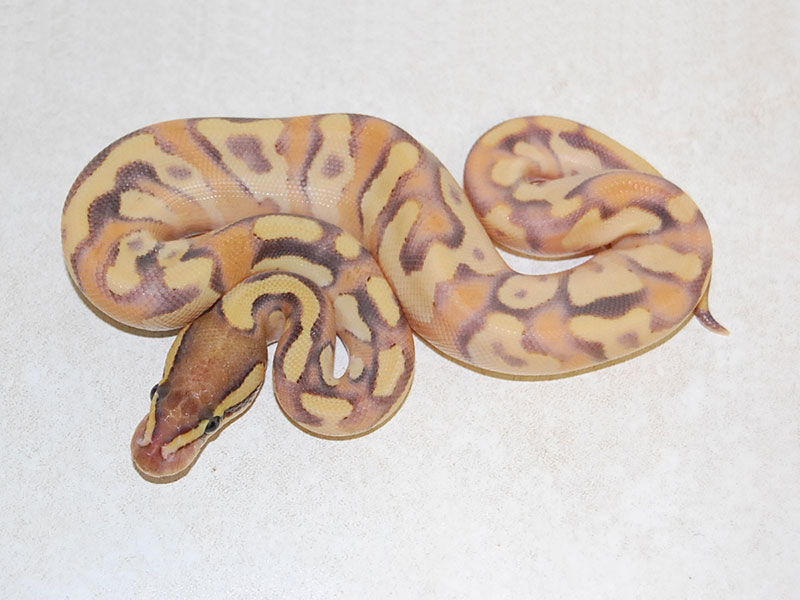 Enchi Fire Mojave Yellow Belly