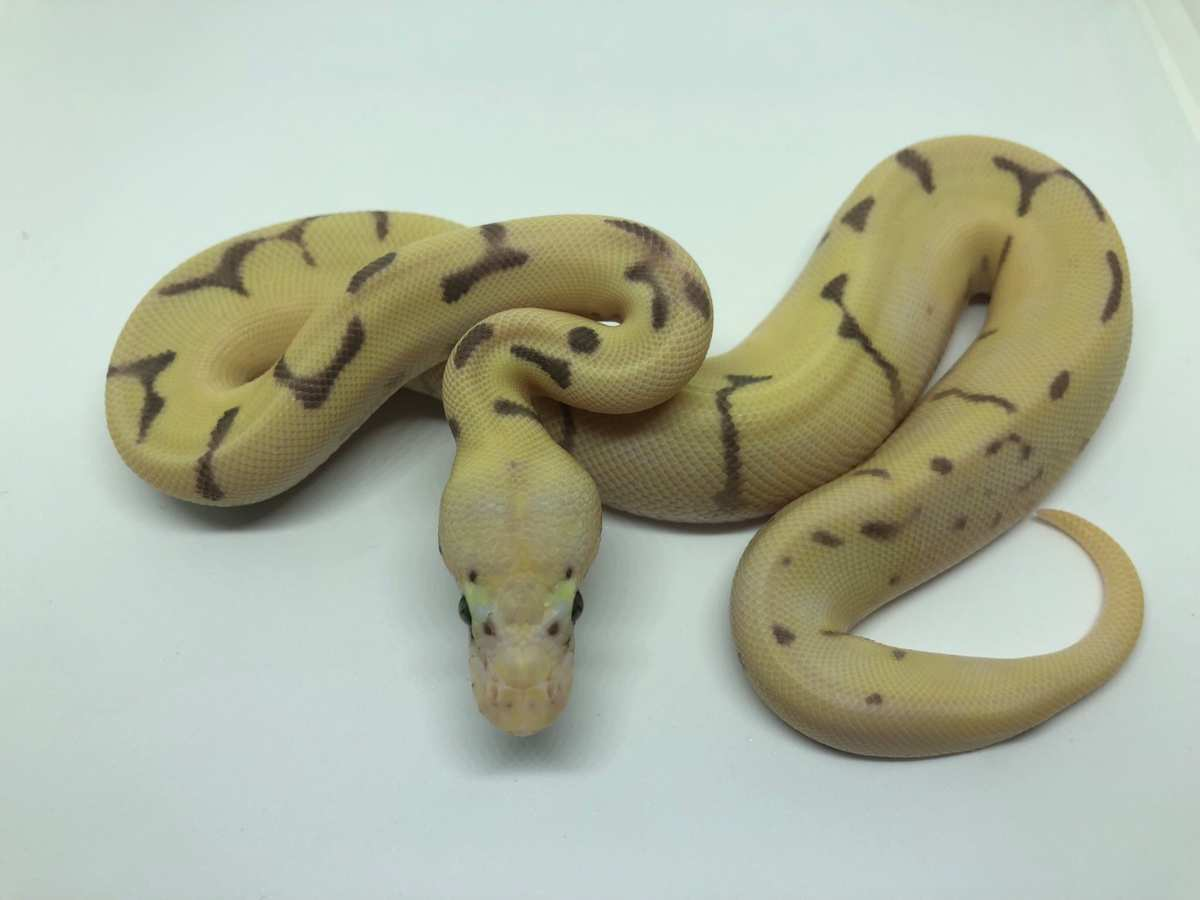Enchi Fire Orange Dream Spider Super Pastel