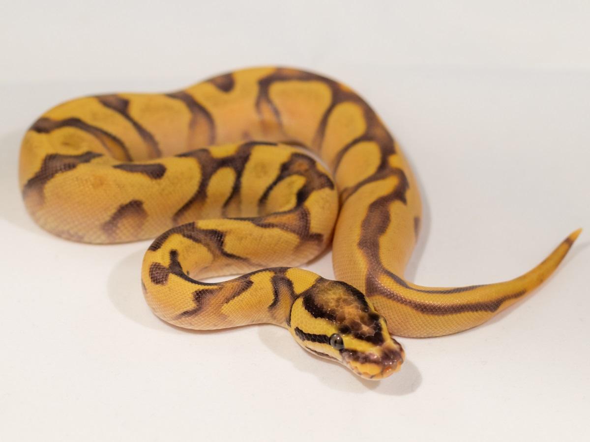 Enchi Fire Orange Dream Yellow Belly