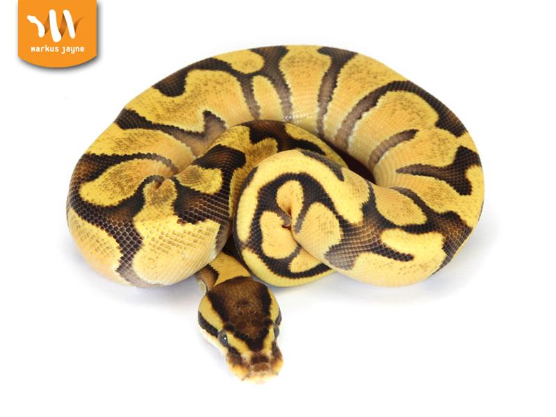 Enchi Fire Orange Dream Morph List World Of Ball Pythons
