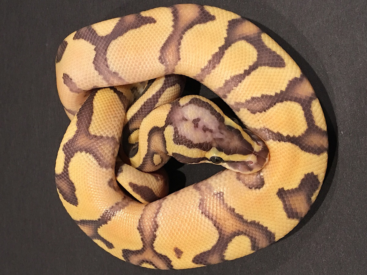 Enchi Fire Orange Ghost Pastel