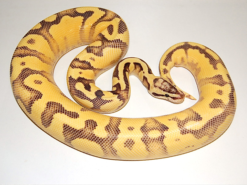Enchi Fire Pastel Yellow Belly