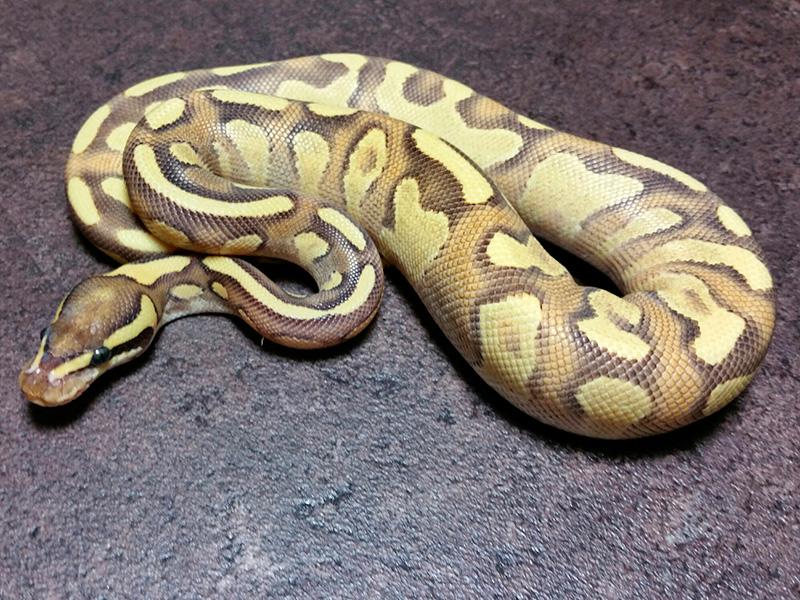 Enchi Fire Phantom Yellow Belly