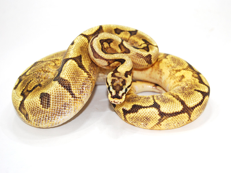 Enchi Fire Spider Yellow Belly