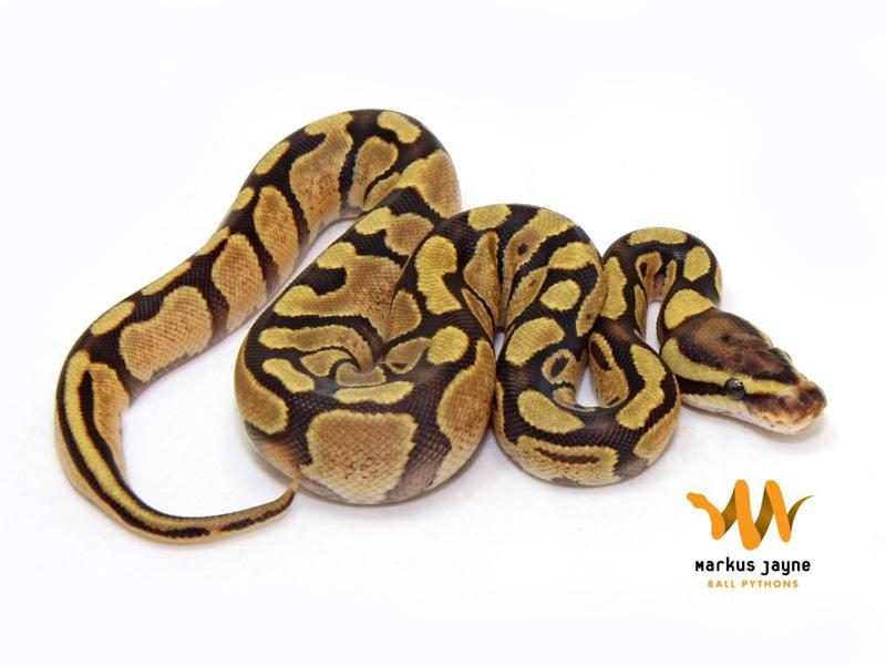 Assez Enchi Fire - Morph List - World of Ball Pythons MN97