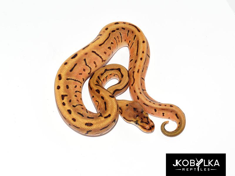 Enchi Leopard Pinstripe Spotnose