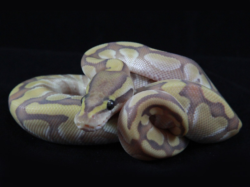 Enchi Lesser Orange Ghost
