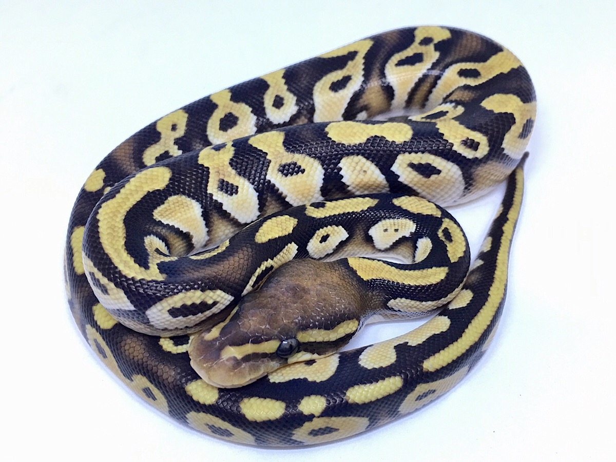 Enchi Mojave Orange Belly Orange Dream